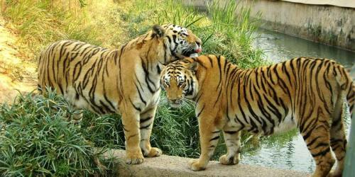 album- 0006 tigres6