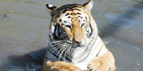album- 0008 tigre1