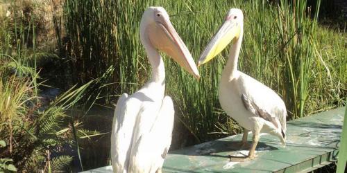 album- 0027 pelican