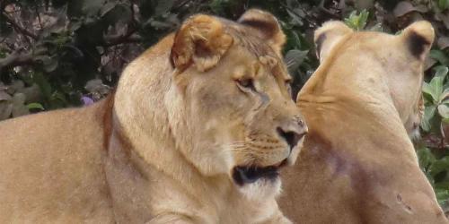 album- 0030 lions34
