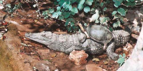 album- 0041 croco tortue