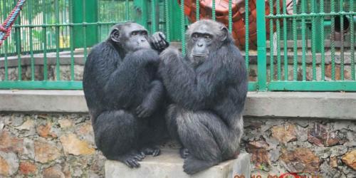 album- 0045 chimps1